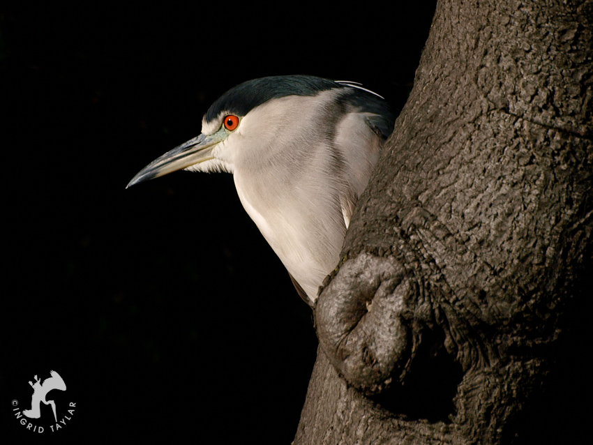 Black-crowned Night Heron on Tree