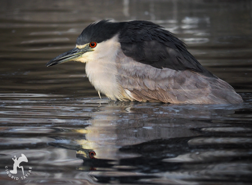 Black-crowned Night Heron Bathing