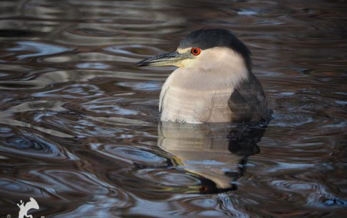 Black-crowned Night Heron Bathing