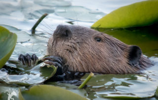 American Beaver eating lily pads