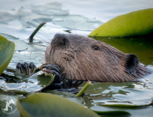 North American Beaver … Eating Lily Pads Like Enchiladas