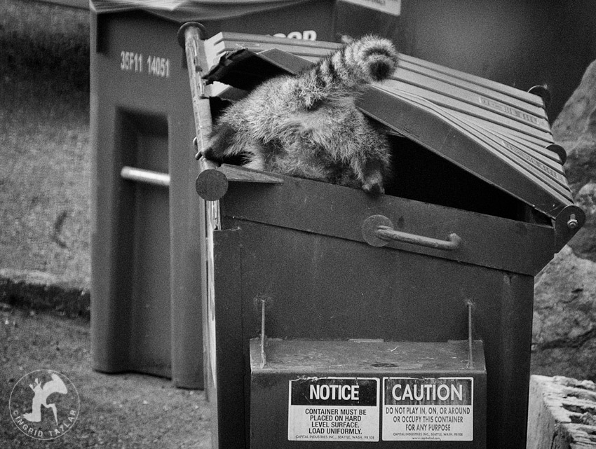 Raccoon Exploring Dumpster