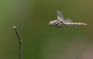 Meadowhawk in Flight