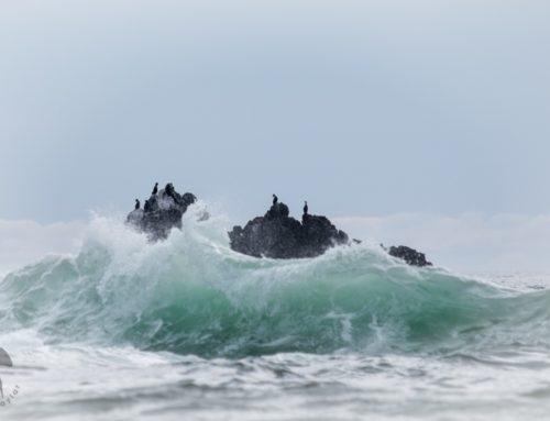 Raging Sea of Cormorants