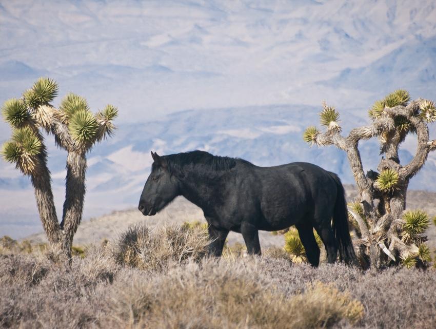 Wild Horse Near Las Vegas