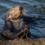 California sea otter cracking shell on rock