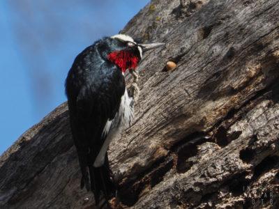 Acorn Woodpecker Head Scratch