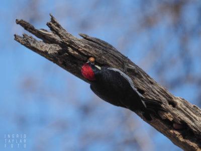 Acorn Woodpecker Placing Acorn