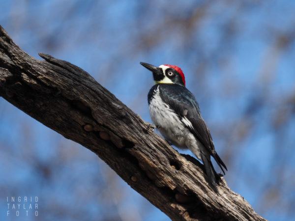 Acorn Woodpecker on Tree Stump in Northern California