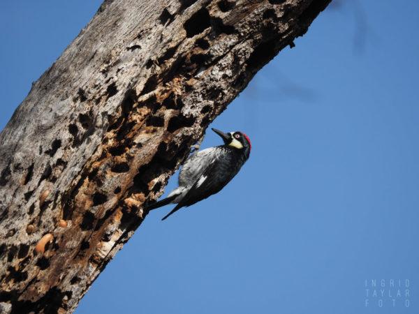 Acorn Woodpecker on Tree Trunk in California