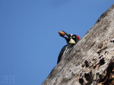 Acorn Woodpecker with Acorn in San Francisco Bay Area