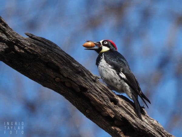 Acorn Woodpecker with Acorn at Mt. Diablo State Park