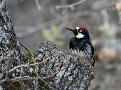 Acorn Woodpecker at Mt Diablo