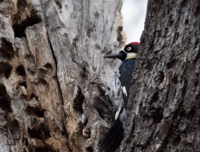 Acorn Woodpecker on Granary Tree