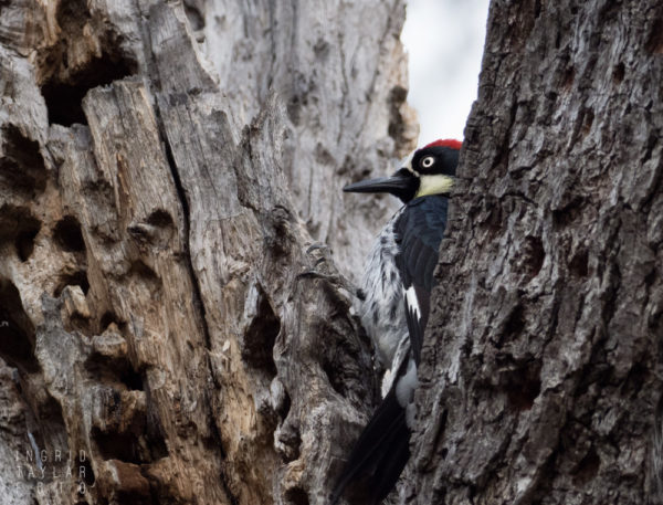 Acorn Woodpecker on Granary Tree
