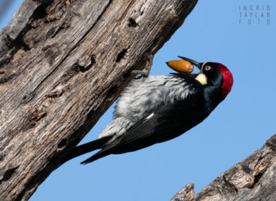 Acorn Woodpecker with Acorn