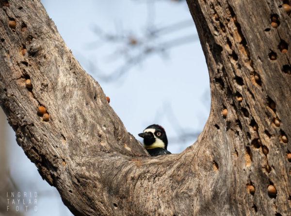 Acorn Woodpecker at Granary Tree