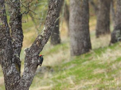 Acorn Woodpecker in Oak Habitat