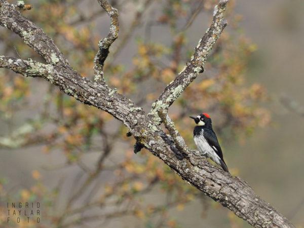 Acorn Woodpecker in California Oak Habitat at Sunol Regional Park