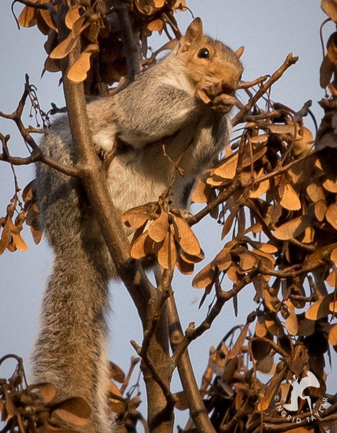 Squirrel eating maple seed pods