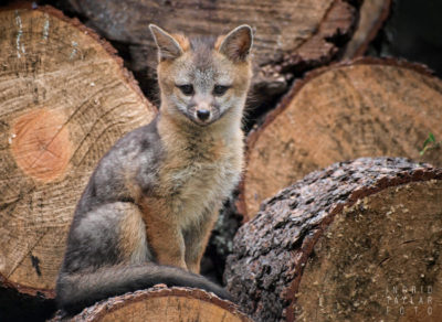 Gray Fox kit on wood pile