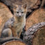 Gray Fox kit on wood pile