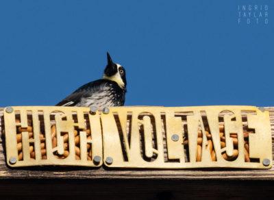Acorn Woodpecker Granary on Utility Pole