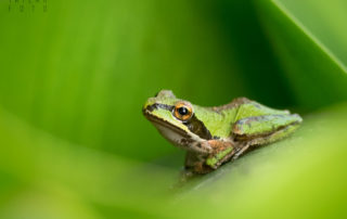 Pacific Chorus frog on leaf in Oakland California