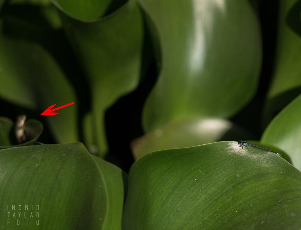 Pacific chorus frog stalking damselfly