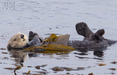 Sea Otter in Kelp - Morro Bay