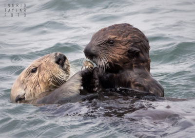 Sea Otter Mom and Pup Sharing Food