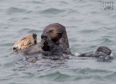 Sea Otter Pup and Mother at Moss Landing