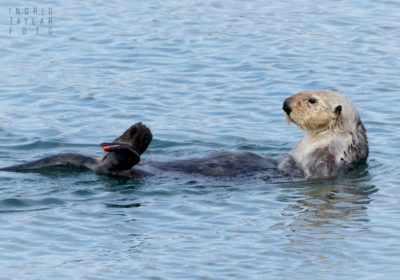 Sea Otter with Flipper Tag
