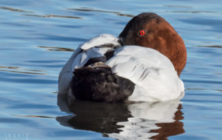 Sleeping Canvasback Duck