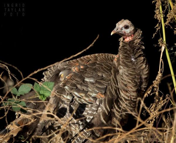 Wild Turkey in Tilden Park Berkeley