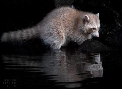 Blonde Raccoon