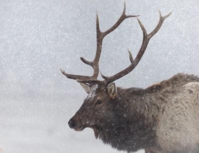 Bull Elk in Snow in Estes Park