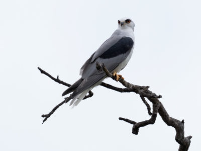 White-tailed Kite Against Clouds