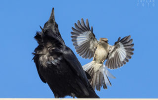 Northern Mockingbird Mobbing Common Raven