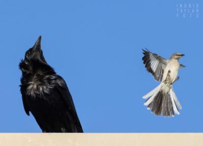 Northern Mockingbird Mobbing Common Raven