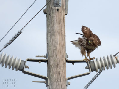 Red-tailed Hawk on Utility Pole