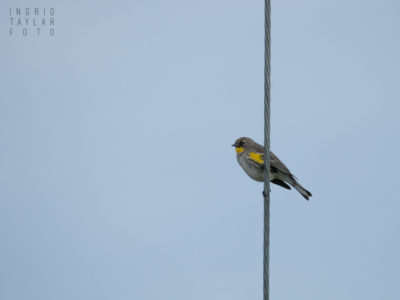 Yellow-Rumped Warbler on Cable