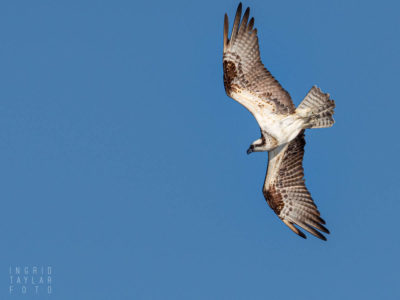 Osprey in Flight and Dive