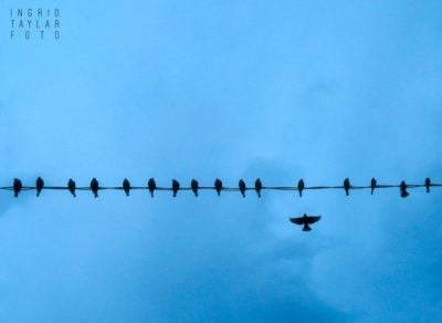 At Last - Blackbirds on a Blue Dusk