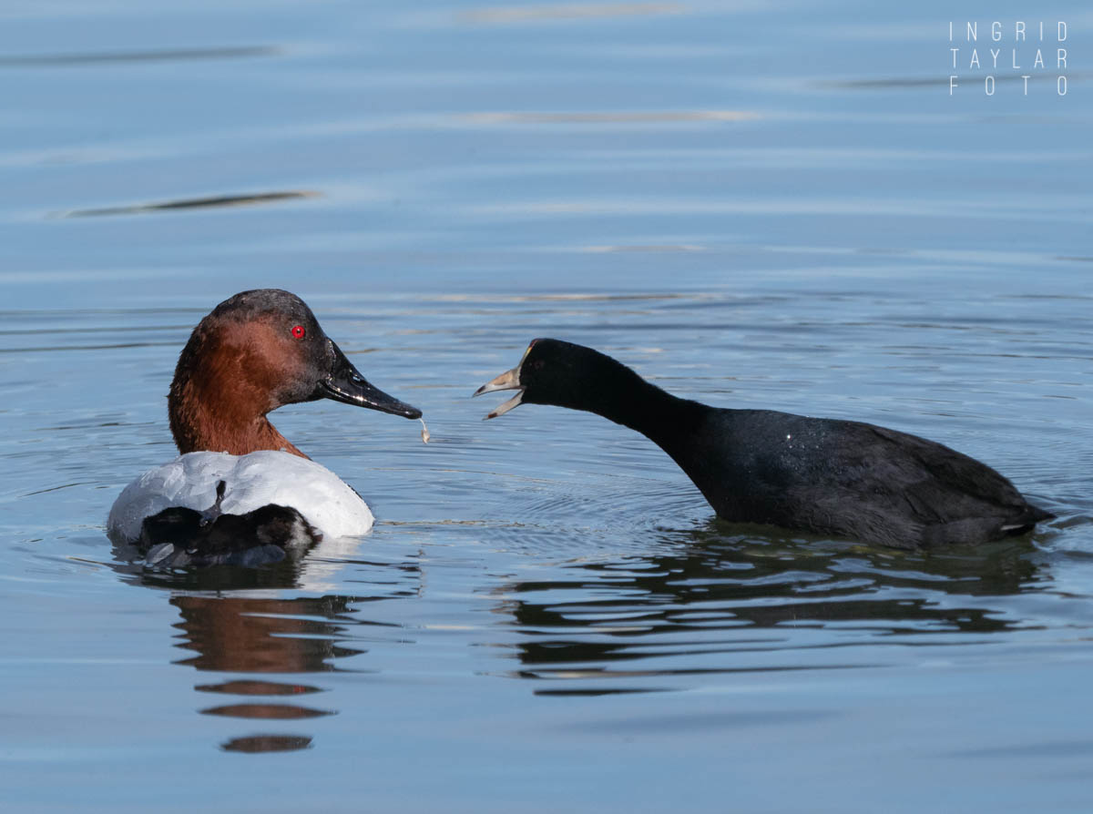 Canvasback and American Coot