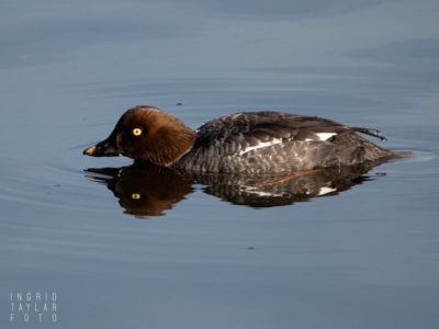 Common Goldeneye -Female