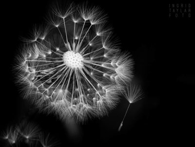 Go Forth and Prosper - Dandelion in Black and White