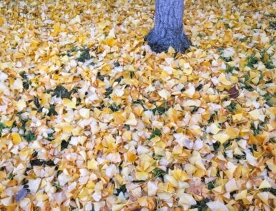 Gingko Tree and Leaves