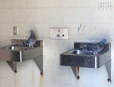 PIgeons Using Sink in Beach Bathroom
