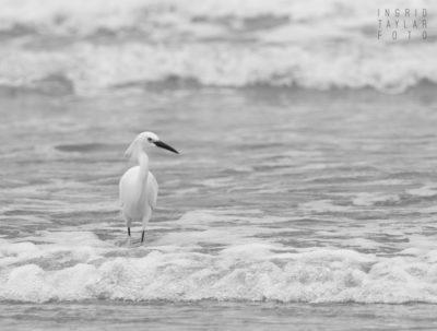 Snowy Egret in Monochrome Surf